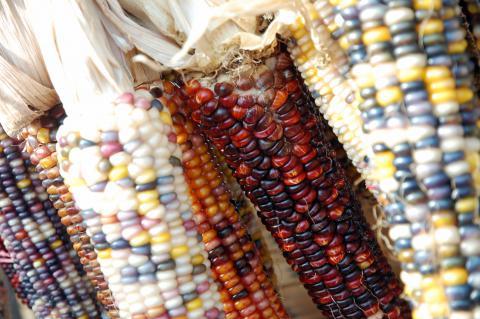 Standard Navajo Red Corn Credit: Steve Snodgrass