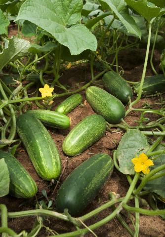 Cucumbers, Field Cucumbers