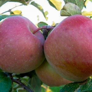 Fuji Apples