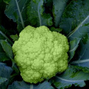 Brocoverde Cauliflower