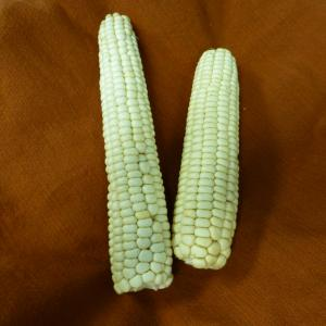 Standard Navajo White Corn Credit: Native Seed/SEARCH