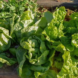Lettuce, Buttercrunch Credit: Mark Levisay