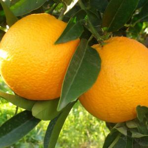 Oranges, Valencia